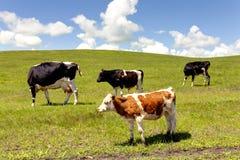 Vacas en pasto Fotografía de archivo