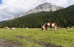 Vacas en pasto cerca del lago Misurina Fotografía de archivo