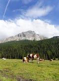 Vacas en pasto cerca del lago Misurina Imágenes de archivo libres de regalías