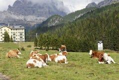 Vacas en pasto cerca del lago Misurina Foto de archivo