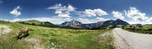 Vacas en pasto de la montaña Fotografía de archivo