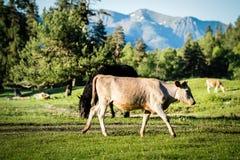 Vacas en pasto de la montaña Fotos de archivo