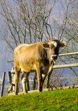 Vacas en pasto en el otoño, las montañas azules y los encerrar viejos Imagenes de archivo