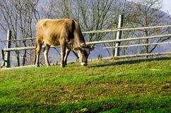 Vacas en pasto en el otoño, las montañas azules y los encerrar viejos Imágenes de archivo libres de regalías