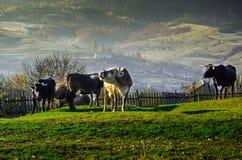 Vacas en pasto en el otoño, las montañas azules y los encerrar viejos Fotografía de archivo
