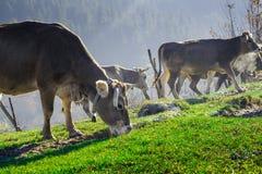 Vacas en pasto en el otoño, las montañas azules y los encerrar viejos Imagen de archivo libre de regalías