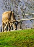 Vacas en pasto en el otoño, las montañas azules y los encerrar viejos Imagen de archivo