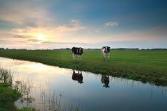 Vacas en pasto por el río en la puesta del sol Fotos de archivo libres de regalías