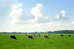 Vacas en pasto verde Imagenes de archivo