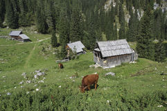 Vacas en pastos de la alta montaña Imagen de archivo