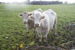Vacas en prado Fotografía de archivo