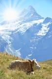 Vacas en prado alpino Fotografía de archivo