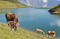 Vacas en prado alpino Imagen de archivo libre de regalías