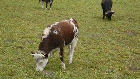 Vacas en prado alpino cerca de Monte Rosa durante otoño almacen de metraje de vídeo