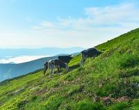Vacas en prado alpino en tiempo soleado imagenes de archivo