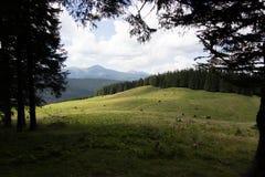 Vacas en prado con la gama de montañas y el fondo azul de cielo nublado Imagen de archivo