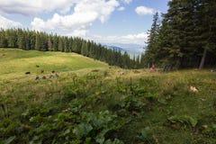 Vacas en prado con la gama de montañas y el fondo azul de cielo nublado Imagenes de archivo