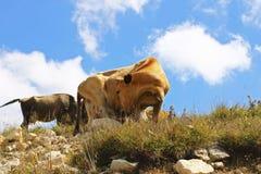 Vacas en prado del verano de los ths contra el cielo azul Fotos de archivo libres de regalías