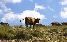 Vacas en prado del verano de los ths contra el cielo azul Foto de archivo libre de regalías