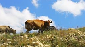 Vacas en prado del verano de los ths contra el cielo azul Imágenes de archivo libres de regalías