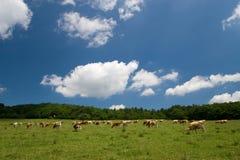 Vacas en prado verde Foto de archivo