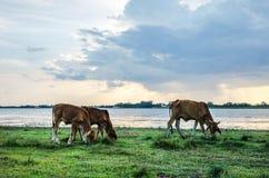 Vacas en prado verde Imagenes de archivo