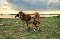 Vacas en prado verde Fotografía de archivo