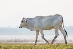 Vacas en prado verde Fotos de archivo libres de regalías