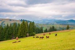 Vacas en prado verde, con las montañas y las nubes en fondo Fotografía de archivo