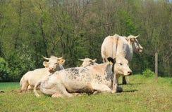 Vacas en primavera imagen de archivo libre de regalías
