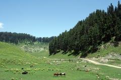 Vacas en rango ancho verde del campo y de montaña. imagen de archivo