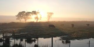 Vacas en sol de la mañana Imágenes de archivo libres de regalías