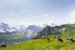 Vacas en Suiza Foto de archivo libre de regalías