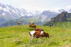 Vacas en Suiza Imagen de archivo