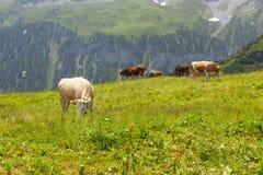 Vacas en Suiza Fotografía de archivo