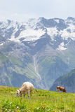 Vacas en Suiza Fotos de archivo