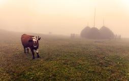 Vacas en Ucrania durante una salida del sol de niebla Fotos de archivo