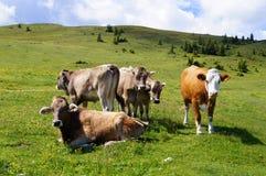 Vacas en un alpino Foto de archivo