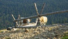 Vacas en un beber-canal Foto de archivo