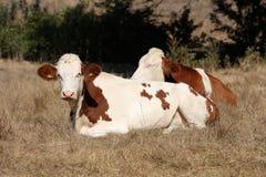 Vacas en un campo Imagenes de archivo