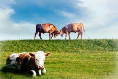 Vacas en un campo Fotos de archivo