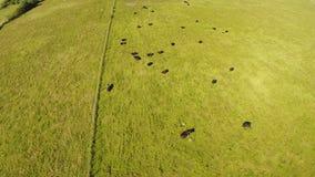 Vacas en un campo almacen de metraje de vídeo