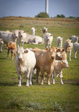 Vacas en un campo imagen de archivo libre de regalías