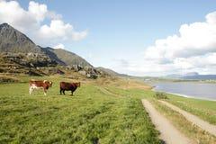Vacas en un campo cerca del fiordo de Lofoten Fotografía de archivo