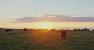 Vacas en un campo de hierba metrajes