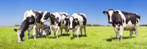 Vacas en un campo herboso fresco en un día claro foto de archivo