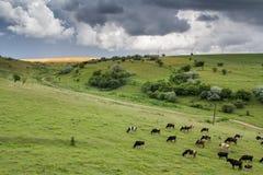 Vacas en un campo verde Fotografía de archivo libre de regalías