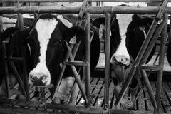 Vacas en un granero Foto de archivo libre de regalías