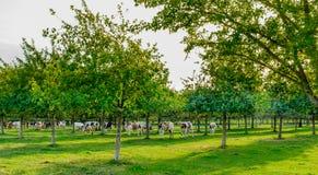 Vacas en un Orchad imágenes de archivo libres de regalías