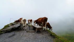 Vacas en un paseo imagen de archivo libre de regalías